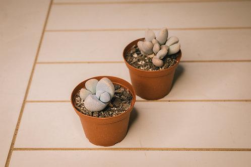 Split rock succulent (Pleiospilos nelii)