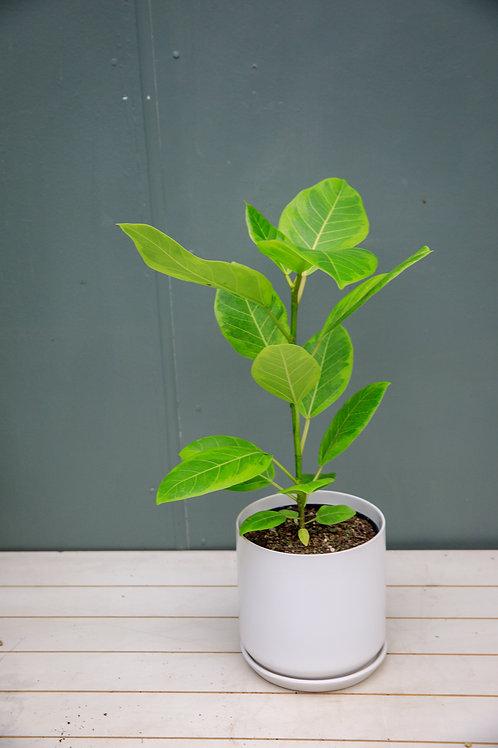 """Ficus Altissima """"Yellow Gem"""""""