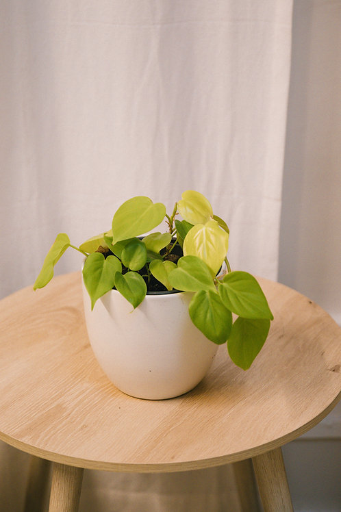 Philodendron Hederaceum 'Lemon Lime'