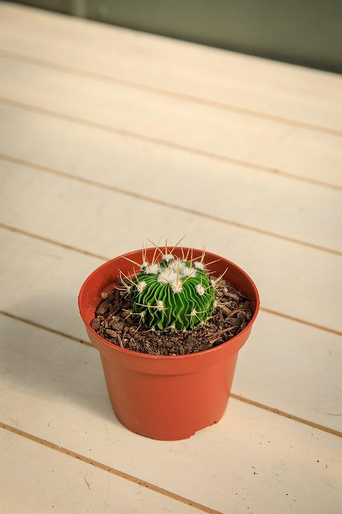 Brain Cactus - Stenocactus multicostatus
