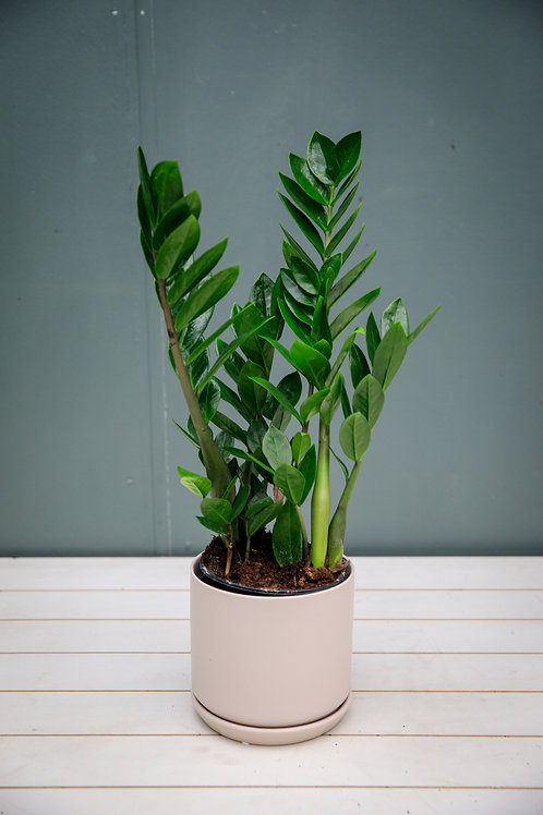 ZZ - Zamioculcas Zamiifolia