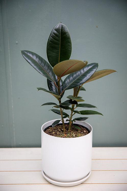 "Ficus Elastica ""Burgundy"" Rubber Tree"