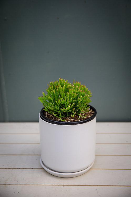 Dancing Bones Cactus - Hatiora salicornioides