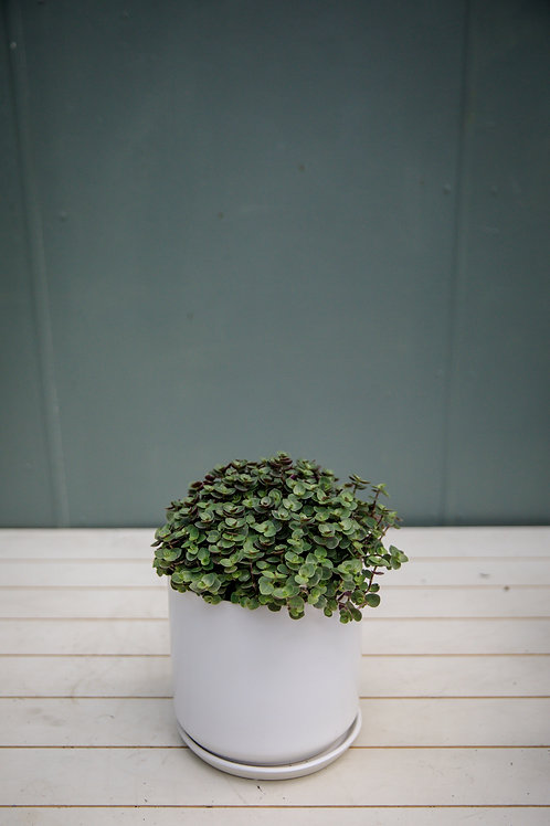 Callisia repens - Green Bubbles
