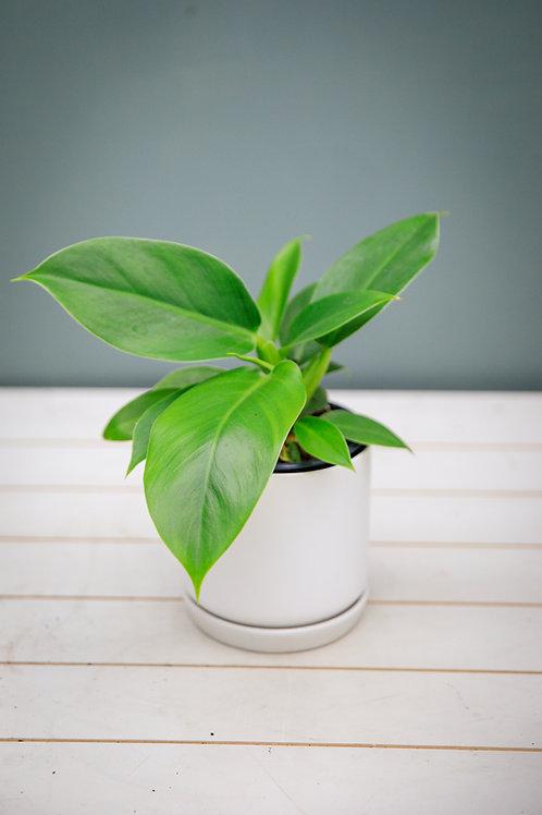 Philodendron Thai Congo Green