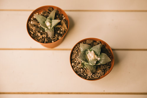 Star rock cactus (Ariocarpus retusus)