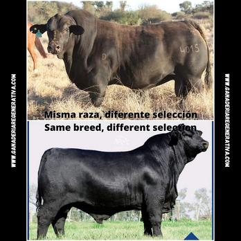 Misma_raza,_diferente_selección_Same_br