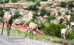 Juvenile Big Horn Sheep (Rams)