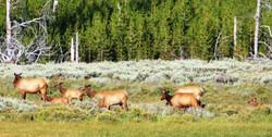 Elk Herd.jpg