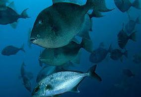 Scuba Diving Azores Dive Tauchen Azoren Plongée Duiken Mergulho Buceo