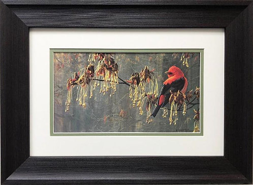 "Robert Bateman"" May Maple- Scarlett Tanager"" FRAMED Art"