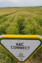 AAC Connect  Maltsters say this is like METCALFE (87 yield) with the yield boost of AAC Connect (97) this barley is increasing in popularity with both producers and beermakers in Canada and In China, barley.  With improved lodging and great yield this malt is definitely making its way to a beer near you!  Good for feed too, as it does yield. Export:  Requested by name by maltsters this variety is a very good choice for your beer.