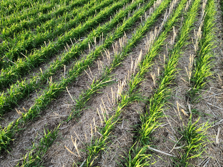 Photo of wheat seeding