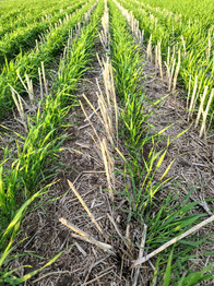 Wheat Direct Seeded We are making soil every year, and storing carbon.