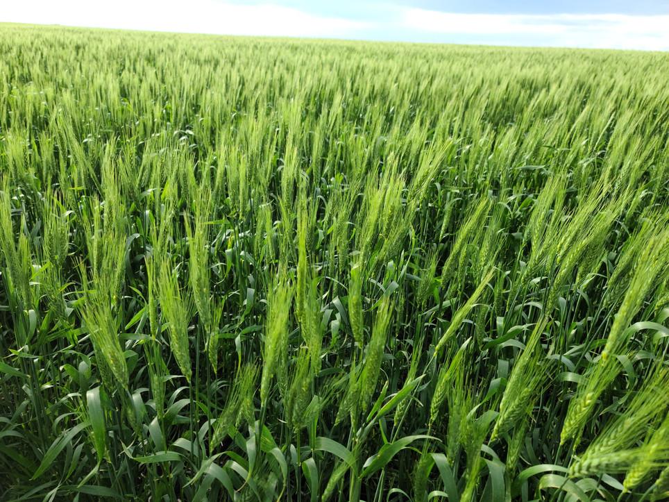 Cdc wheatland powerful variety