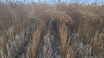 Seeded into wheat stubble at harvest time 2020. Love zero till.  Cdc Glas flax