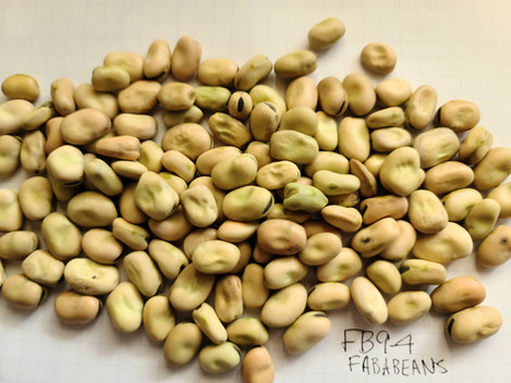 FB9- 4 Faba bean for seed and for export