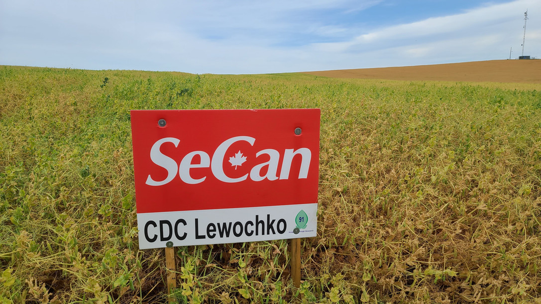 CDC Lewochko  Highest protein & great yield, stands & seed does not split easily. For protein premiums this is one or the varieties to grow.
