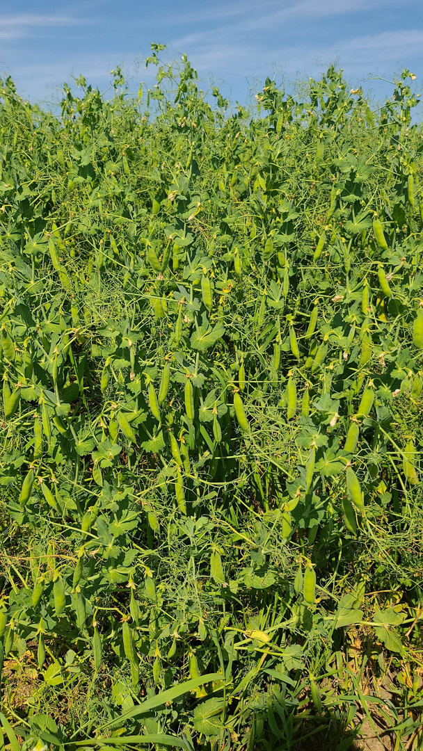 CDC Lewochko  A wall of pods! A perfect crop of yellow peas!