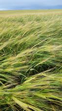 AAC Connect barley