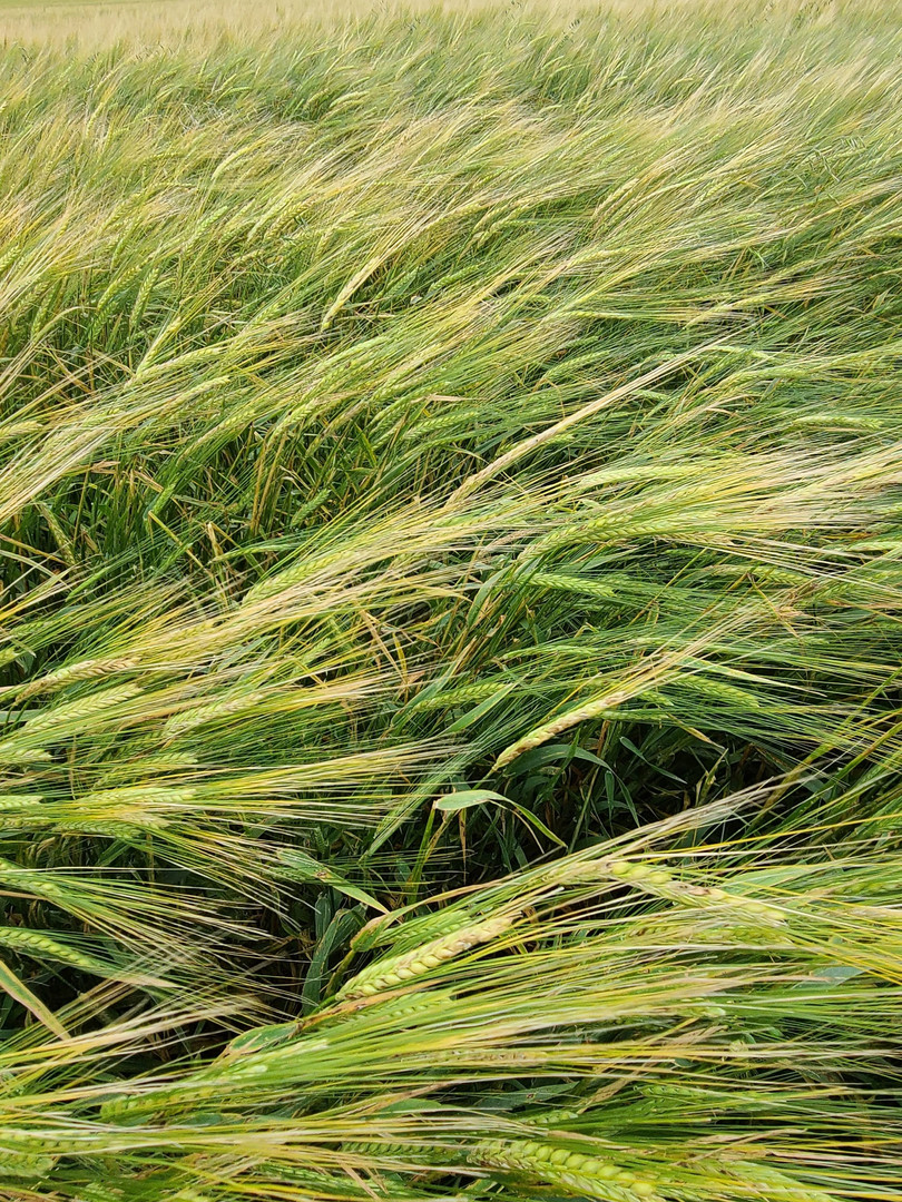 AAC CONNECT BARLEY