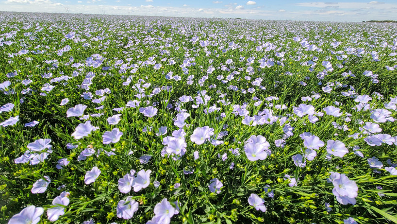 CDC Glas Flax  With flax it needs to stand! CDC Glas does. And it needs to yield a good quality high yielding seed, that too. High-performance has kept this variety number one in Saskatchewan! Export 92% to 99.9% clean, for oil or milling we can supply! Yellow and brown.
