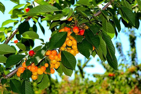 Cherry Berry Fruit Cultivation Production Processing Export Agrarco Azerbaijan / Gilas Becərilməsi Emalı İxracı Agrarco Azərbaycan / Вишня Ягода Фрукт выращивание производство переработка экспорт Аграрко Азербайджан