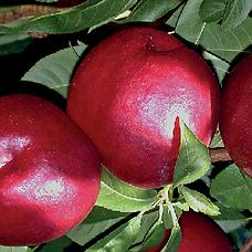 Nectarine Extreme Red Agrarco Azerbaijan / Nektarin Extreme Red Agrarco Azərbaycan / Нектарин Экстрим Ред Аграрко Азербайджан