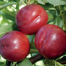 Nectarine Extreme Candy Agrarco Azerbaijan / Nektarin Extreme Candy Agrarco Azərbaycan / Нектарин Экстрим Кенди Аграрко Азербайджан