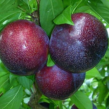 Plum Crimson Glo Agrarco Azerbaijan / Gavalı Agrarco Azərbaycan / Слива Кримсон Гло Аграрко Азербайджан