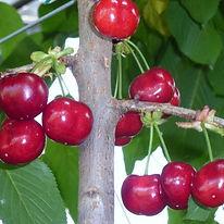 Cherry Early B.G. Agrarco Azerbaijan / Gilas Early B.G. Agrarco Azərbaycan / Черешня Эрли Б.Г. Аграрко Азербайджан