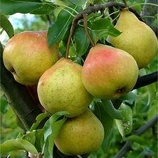 Pear Etrushka Agrarco Azerbaijan / Armud Etruşka Agrarco Azərbaycan / Груша Этрушка Аграрко Азербайджан