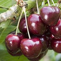 Cherry Late Lory Agrarco Azerbaijan / Gilas Late Lory Agrarco Azərbaycan / Черешня Лейт Лори Аграрко Азербайджан