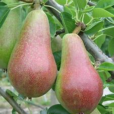 Pear Turandot Agrarco Azerbaijan / Armud Turandot Agrarco Azərbaycan / Груша Турандот Аграрко Азербайджан