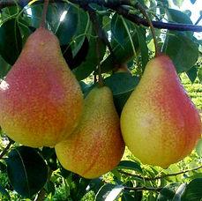 Pear Agrarco Azerbaijan / Armud Meşə Gözəli Agrarco Azərbaycan / Груша Лесная Красавица Аграрко Азербайджан