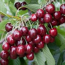 Cherry Big Star Agrarco Azerbaijan / Gilas Big Star Agrarco Azerbaijan / Вишня Биг Стар Аграрко Азербайджан