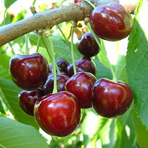 Cherry Ferdiva Agrarco Azerbaijan / Gilas Ferdiva Agrarco Azərbaycan / Черешня Фердива Аграрко Азербайджан