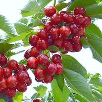Cherry Sabrina Agrarco Azerbaijan / Gilas Sabrina Agrarco Azərbaycan / Черешня Сабрина Аграрко Азербайджан