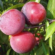 Plum Ruby Crunch Agrarco Azerbaijan / Gavalı Agrarco Azərbaycan / Слива Руби Кранч Аграрко Азербайджан