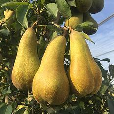 Abate-Fetel-pear.jpg