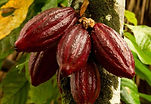Aduna_Super-Cacao_Pod_tree.jpg