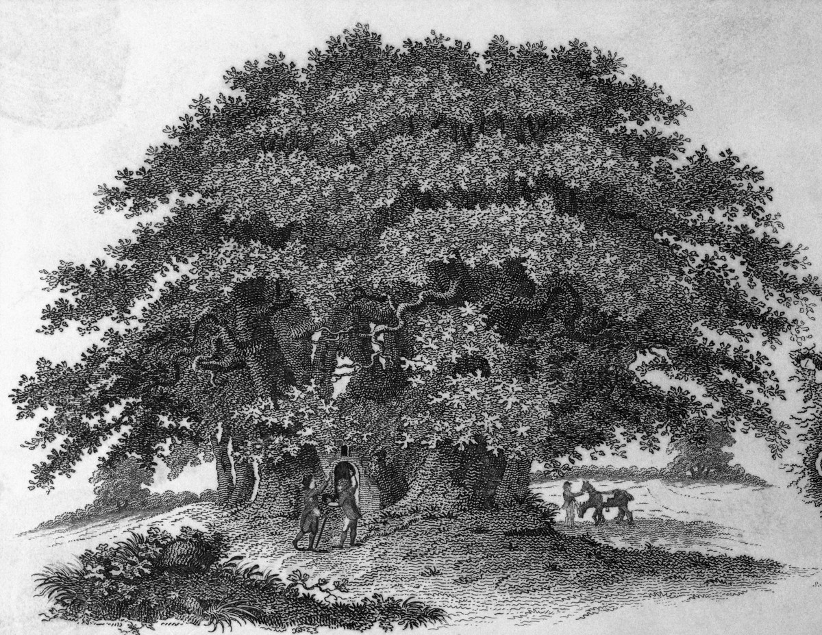 """I was once known as the """"Redwood of the East"""" and often reached heights of 150 feet. I was considered to be among the largest, tallest and fastest growing trees in the US."""