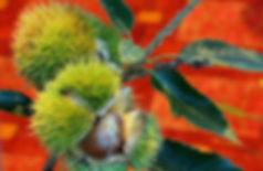 chestnut-bur.jpg