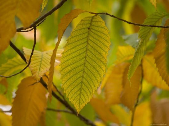 Sadly, in the first half of the 20th century, 1 out of 4 trees across the 180 acre range of eastern forests were killed because of an accidently introduced disease – the chestnut blight.