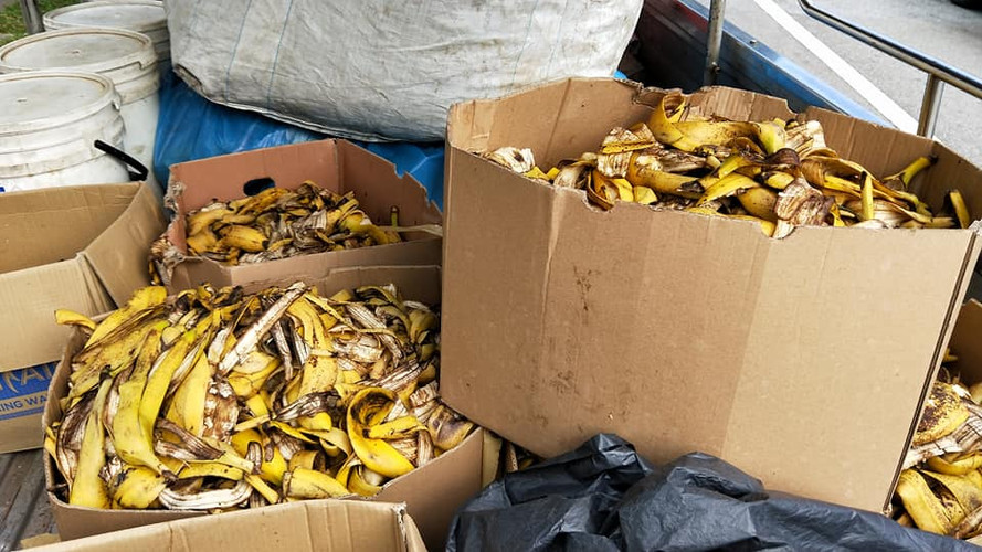 Banana peels being transported to composting locations.