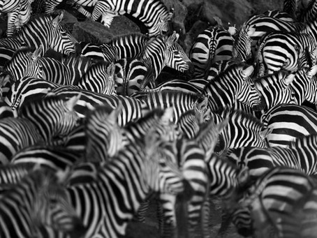 Zebras and Us