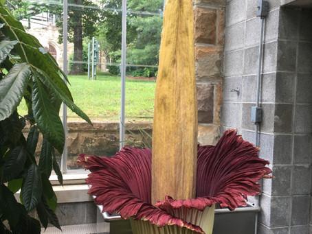 """Titan Arum, aka """"Corpse Flower"""" is blooming!"""