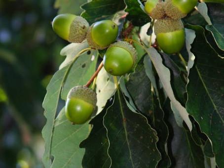 Chestnut Oak Study Published!