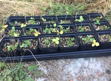 Trifolium calcaricum (Running Glade Clover) Conservation