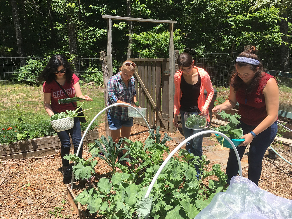 Callie Oldfield, Ashley Block, Kimberly Williams, and Katie Kull pick herbs from Dr. Evans's garden